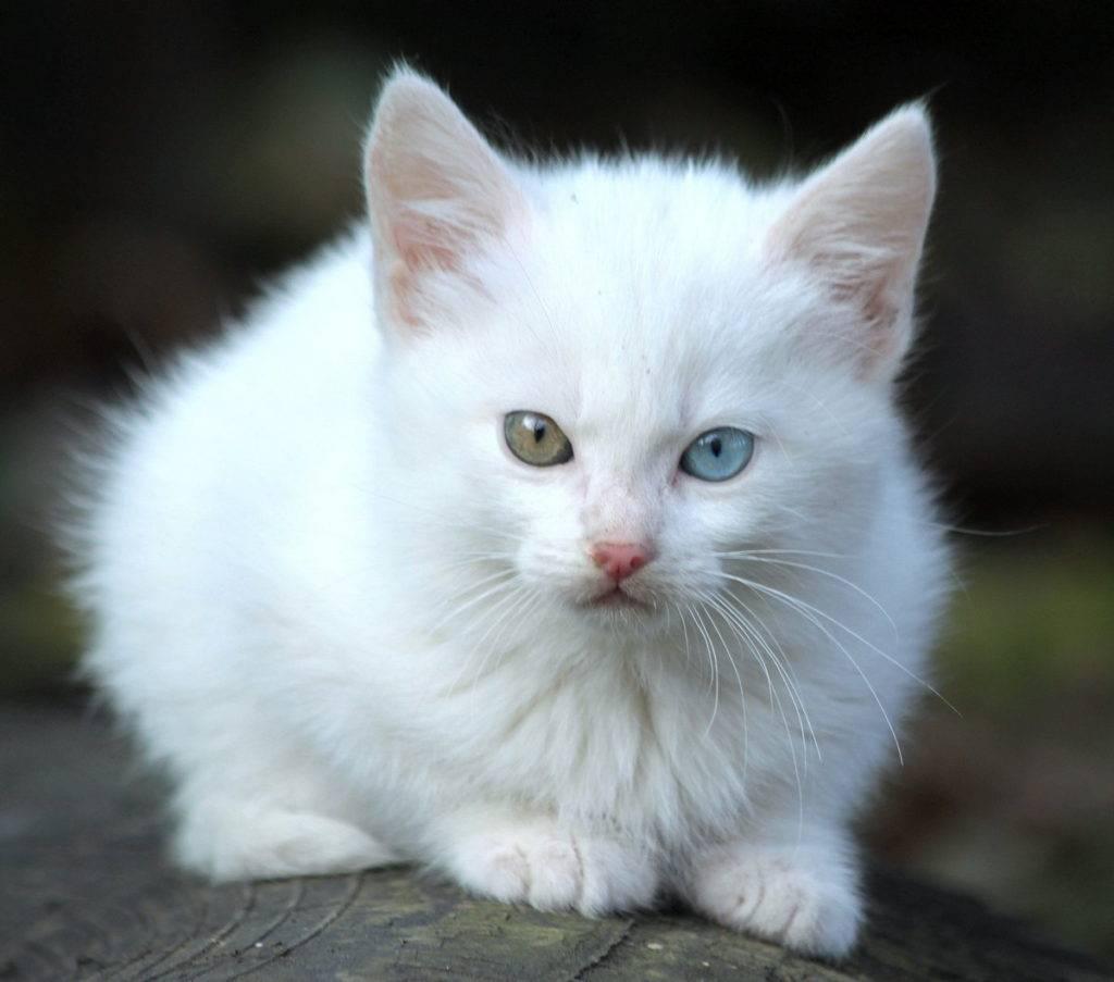 Характер, описание, основные сведения и информация о русской голубой породе кошек