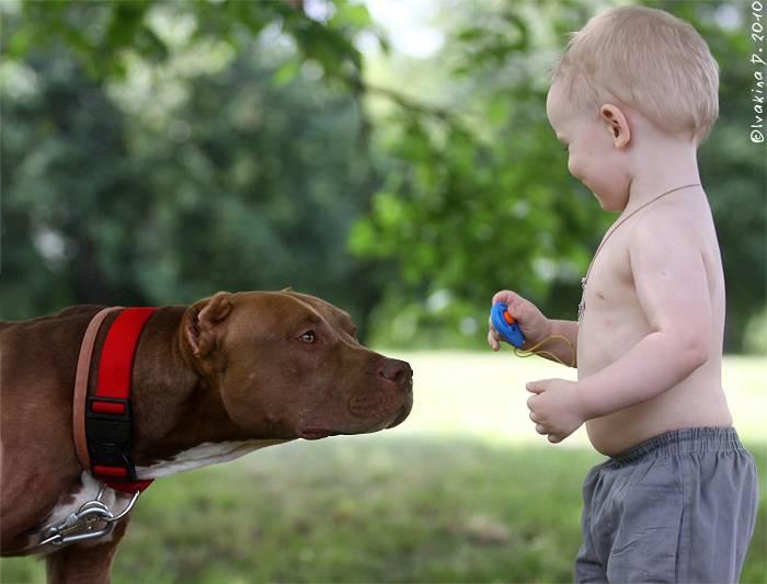 Воспитание щенка бультерьера в домашних условиях