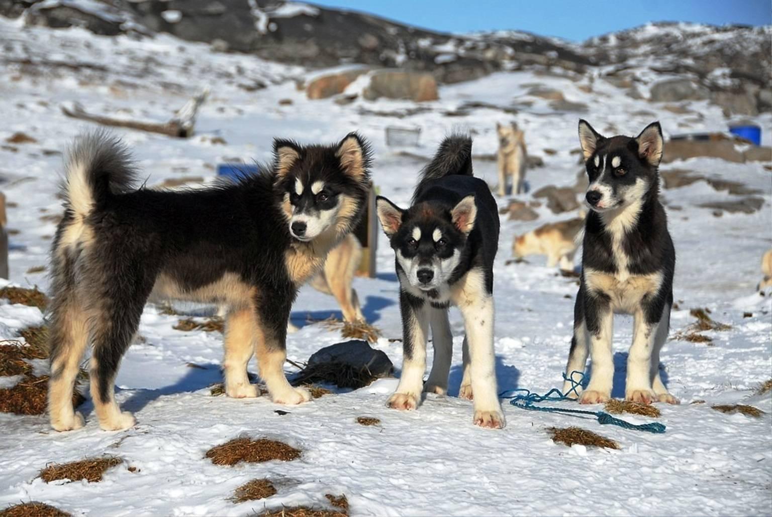 Гренландская собака: описание породы