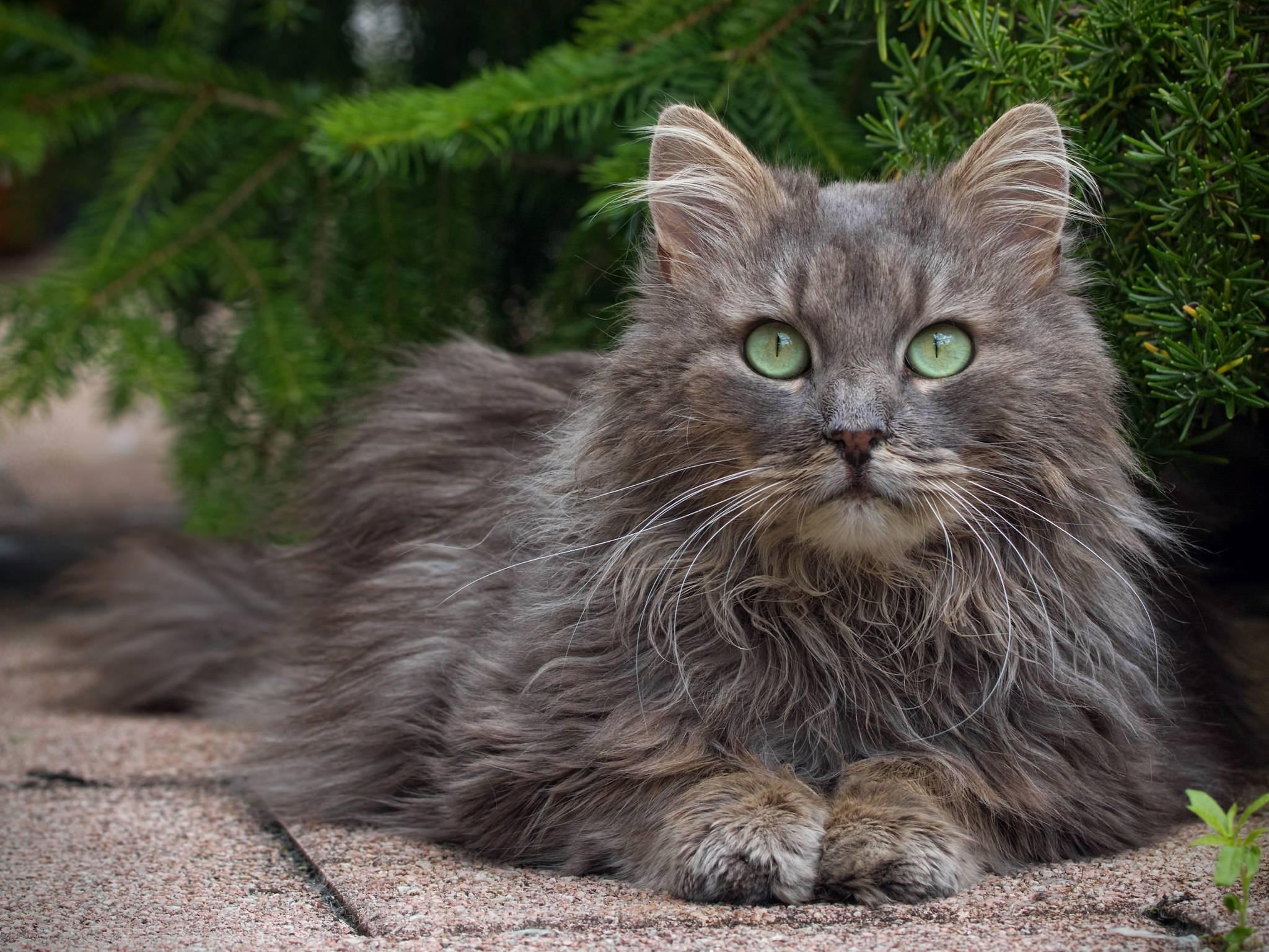 Норвежская лесная кошка - описание породы, характер, фото и цена котенка