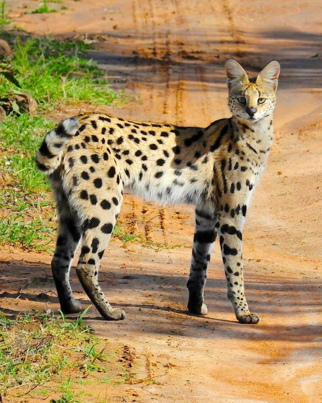 Порода кошек сервал: описание породы, характер, содержание