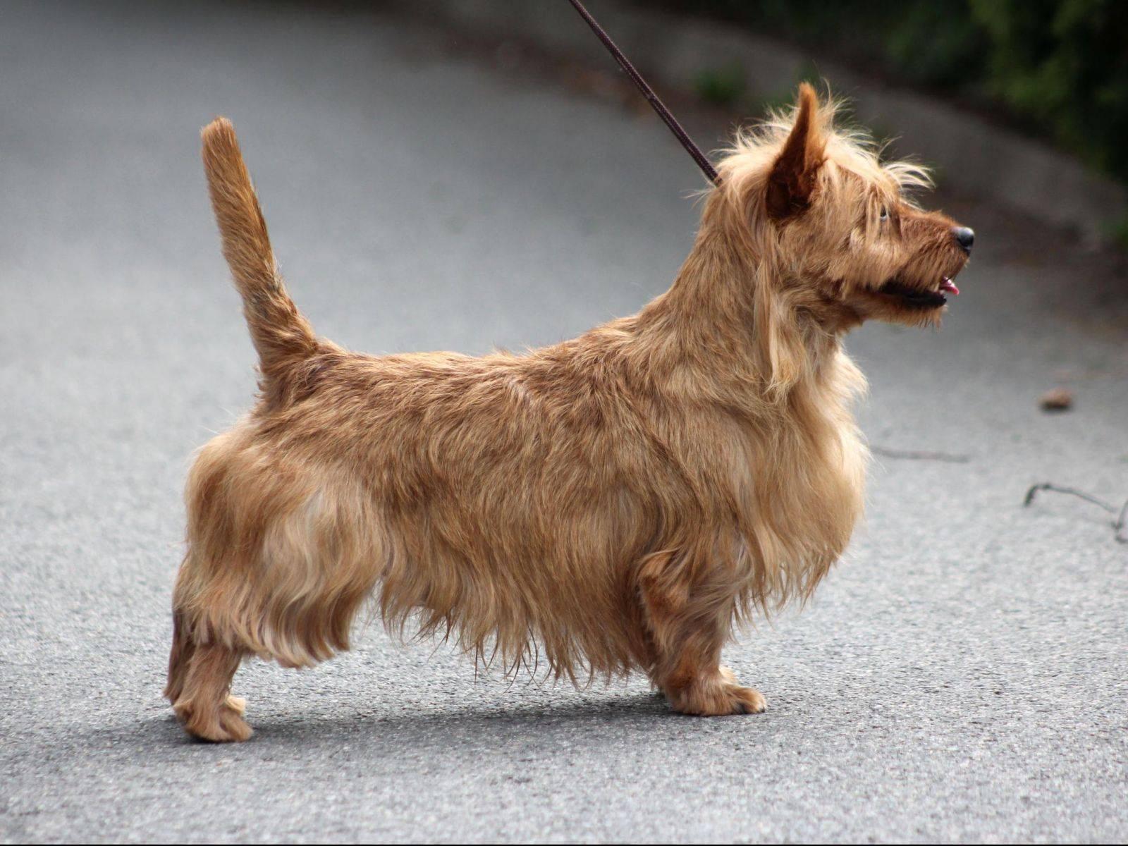 Австралийский терьер (100 фото собаки): описание породы, характер, цена щенков, отзывы, история породы, плюсы и минусы породы
