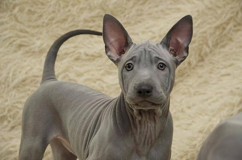 Редкие породы собак: топ-10 необычных экзотических видов