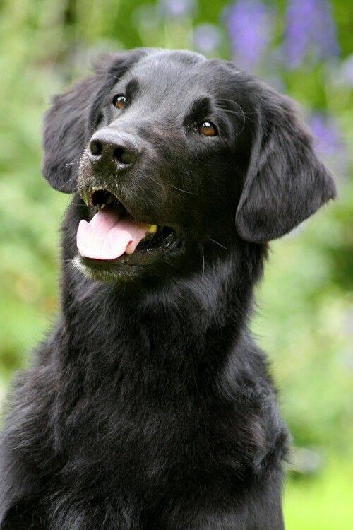 Новошотландский ретривер собака. описание, особенности, виды и цена породы