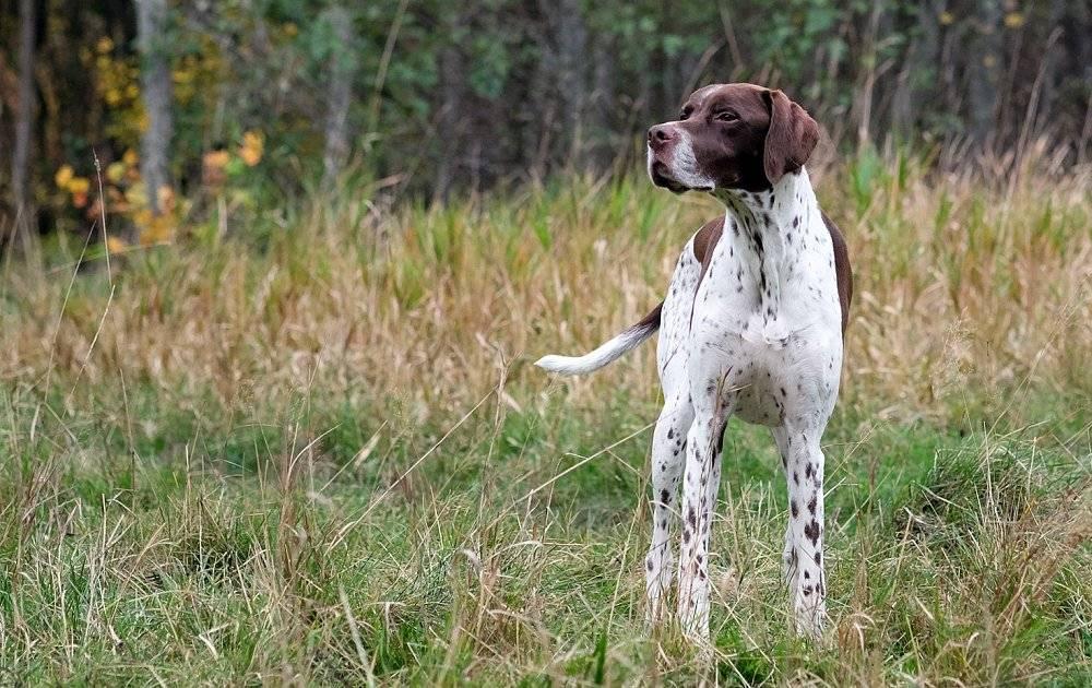 Английский пойнтер: фото и видео, описание породы собаки, цены