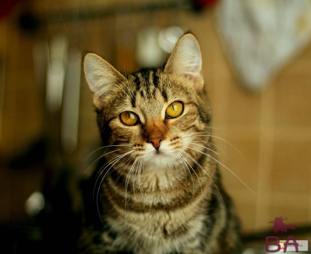 Европейская короткошерстная кошка-описание породы 20 фото