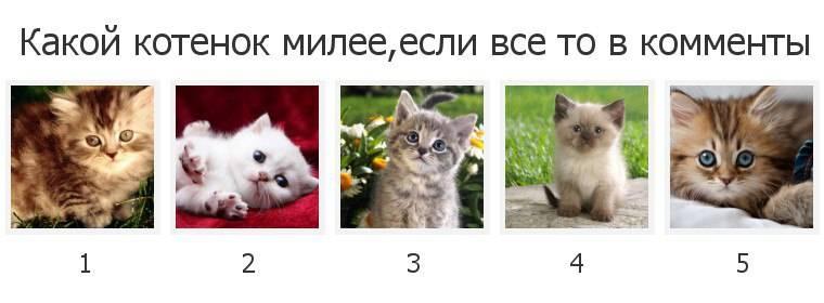 Как выбрать котенка - советы при выборе породистого малыша