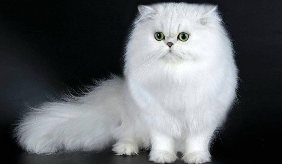Персидская кошка: описание внешности и характера породы, уход за котом и его содержание, выбор котёнка, отзывы владельцев, фото перса