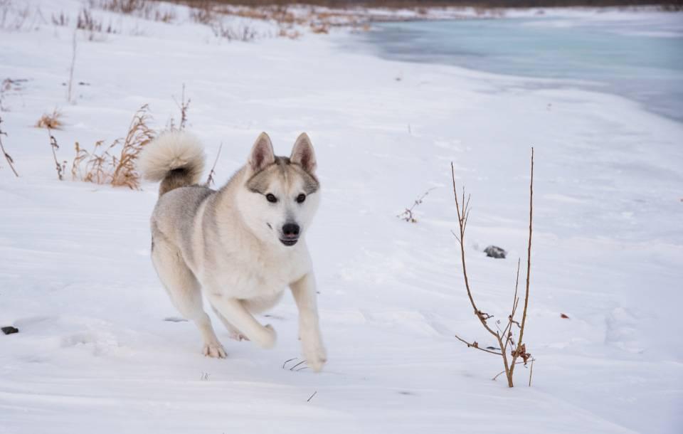 Западно-сибирская лайка: описание породы, характеристика, фото