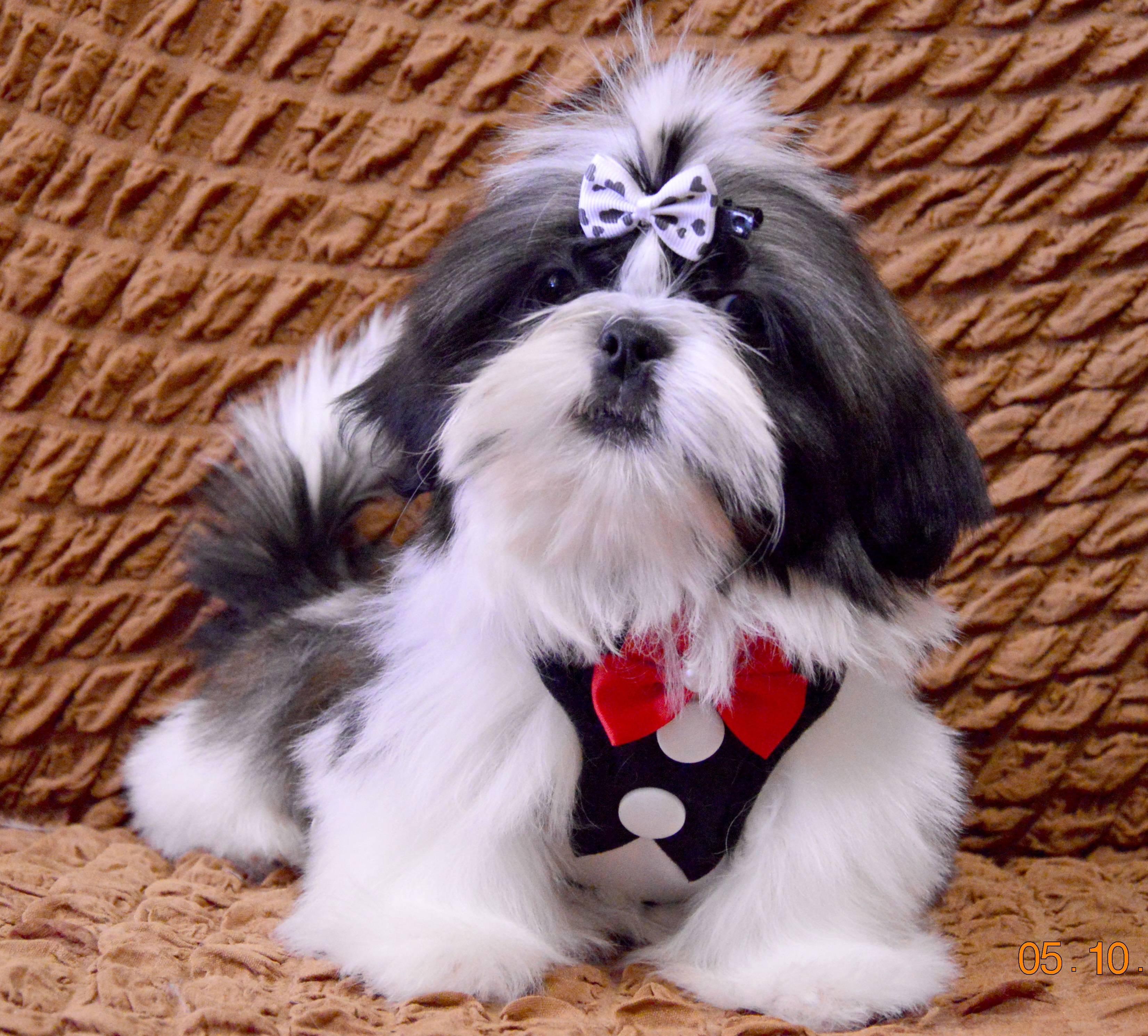 Ши тцу собака. описание, особенности, уход и цена ши тцу | sobakagav.ru