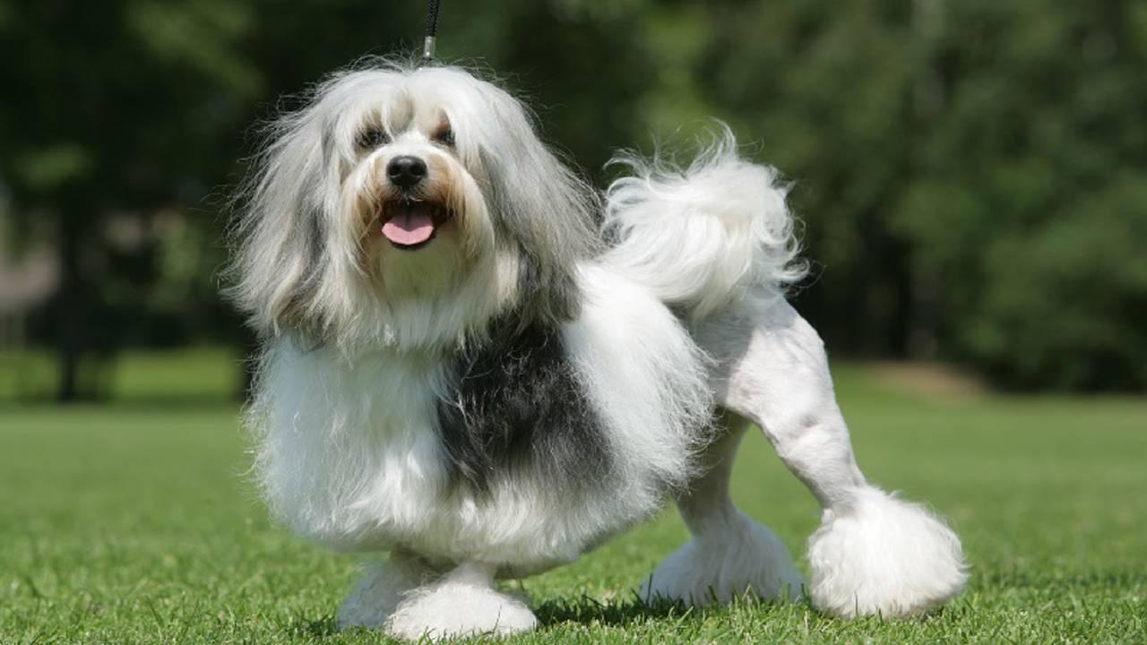 Малая львинная собака (петит шьен лион, лион бишон, левхен): фото, купить, видео, цена, содержание дома