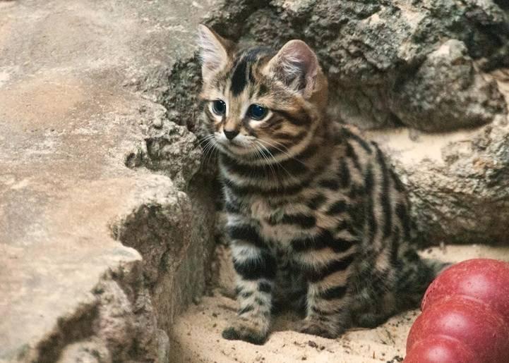 Черноногая кошка: самая маленькая дикая кошка, 43 фото, всё о хищнике