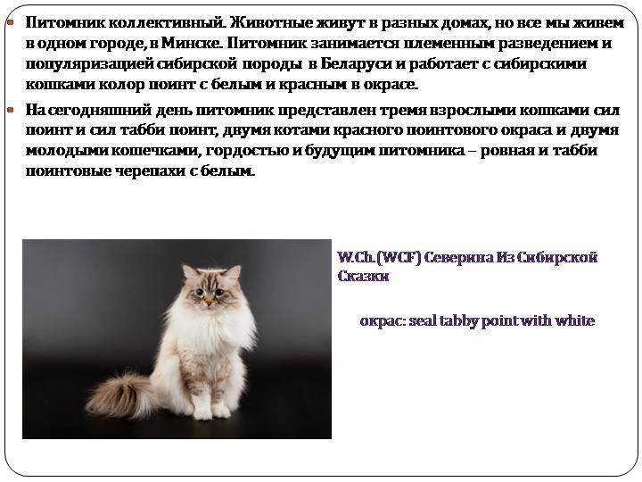 Сибирская кошка — характер и темперамент кошки, особенности содержания и ухода а также рацион питания узнайте в обзоре с фото новинками!