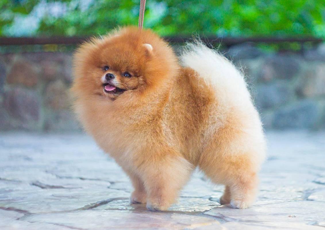 Померанский шпиц (83 фото): описание щенков породы карликовый померанцевый шпиц, характер мини-собаки, отзывы владельцев