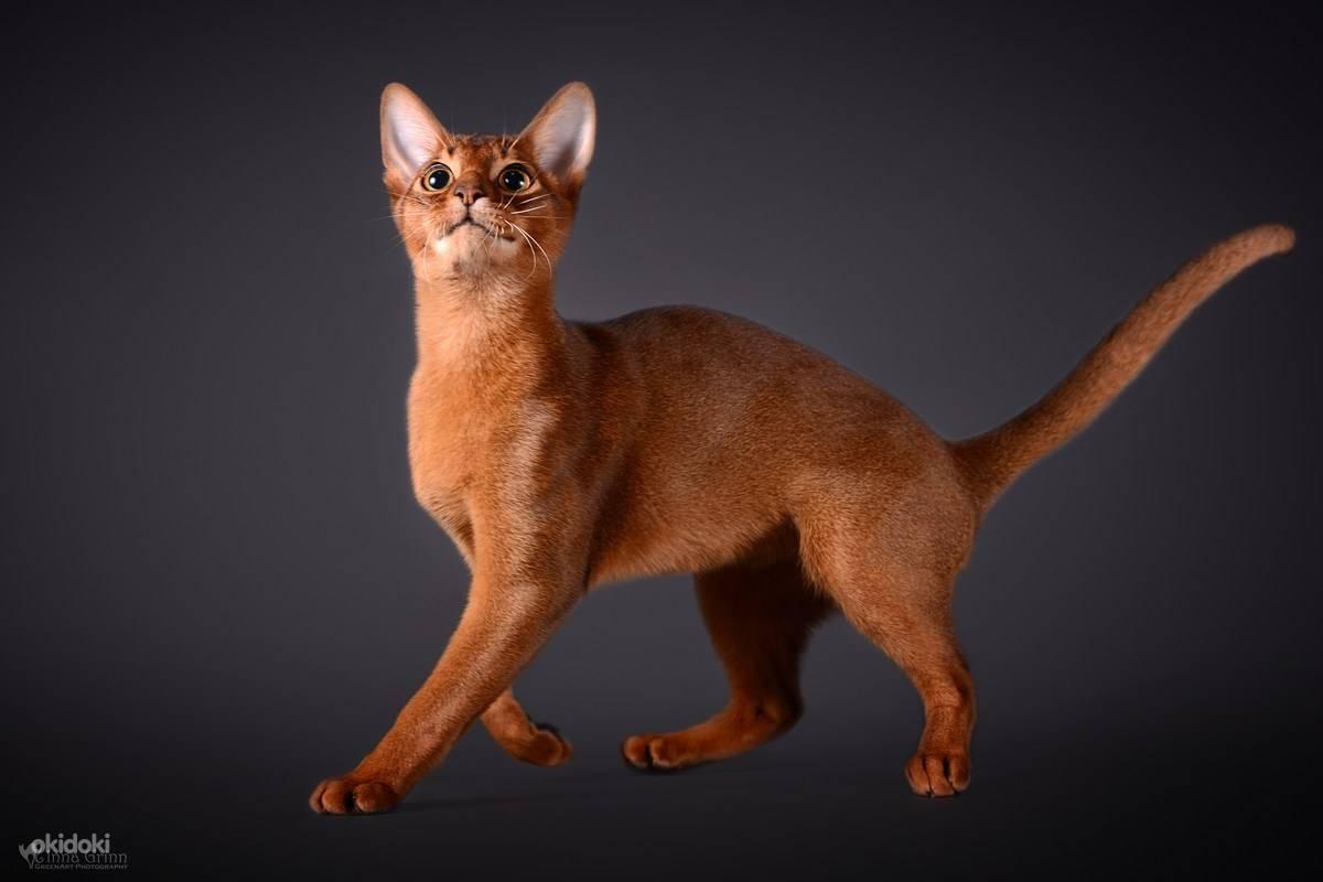 Абиссинская порода кошек-описание с фото, цена котенка