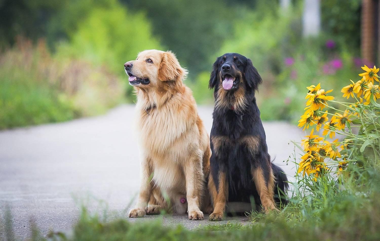 Золотистый ретривер (голден): описание породы с фото, характер собаки, щенки, окрас, особенности