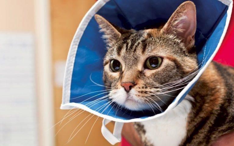 Защитный воротник для кошки: зачем нужен и как использовать