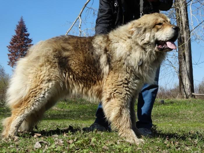 Обзор пород собак, называемых волкодавами, их особенности, фото и видео