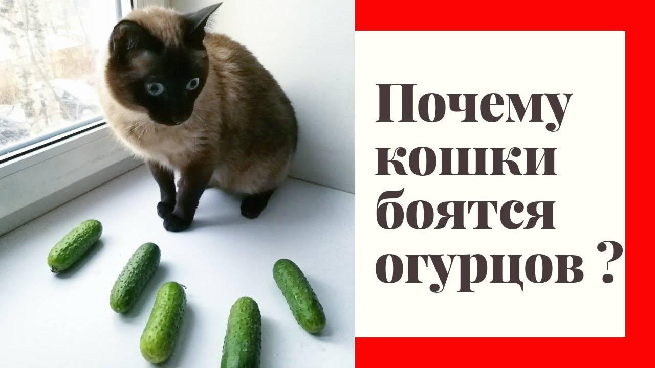 Кошки боятся огурцов почему: основные причины, как преодолеть