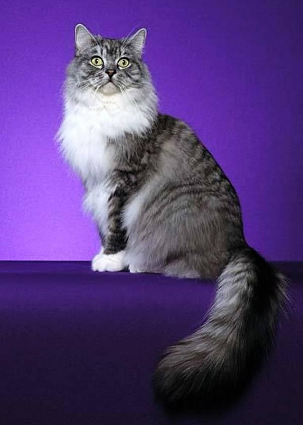 Рагамаффин (порода кошек) — википедия. что такое рагамаффин (порода кошек)