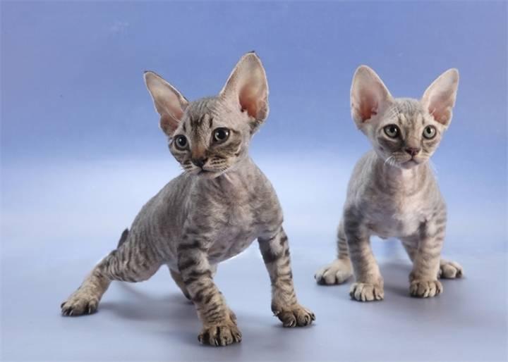 Гипоаллергенные кошки - 10 пород не вызывающие аллергию