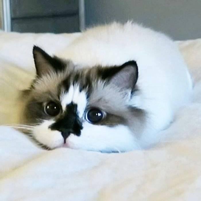 Самые милые кошки в мире: породы | фото, картинки
