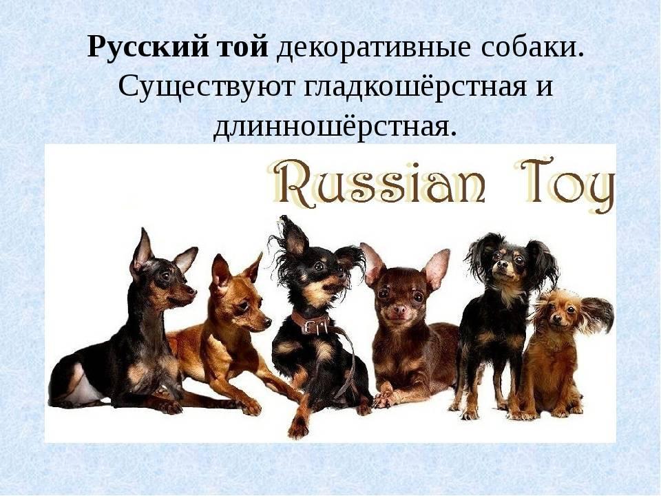 Как выглядит русский гладкошерстный той-терьер: описание характера питомца и отзывы владельцев