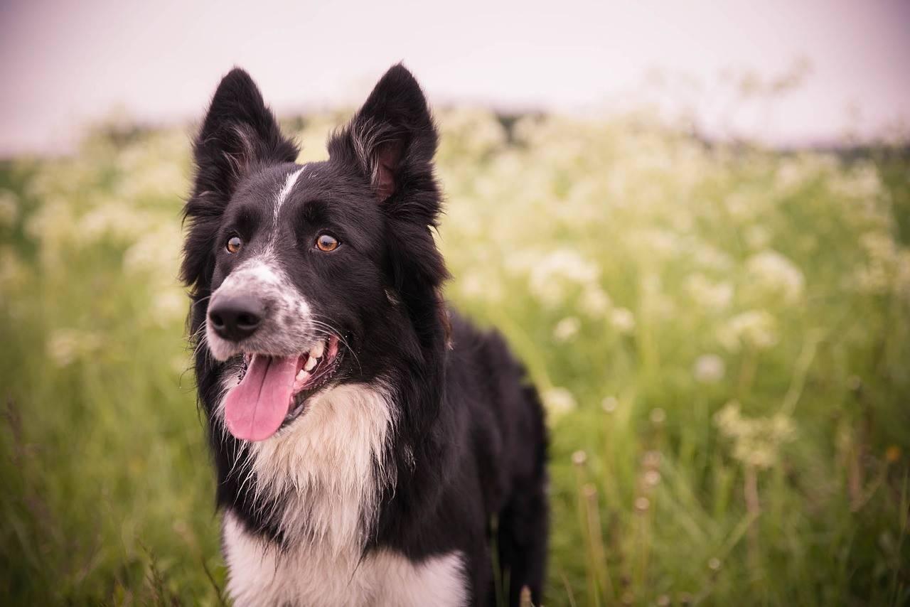Самые умные породы собак с фото и описанием (топ 10)