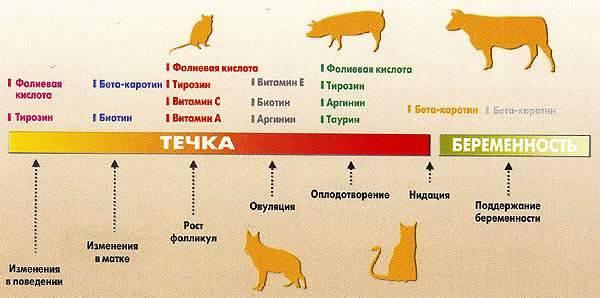 До какого возраста растут кошки — обычные и породистые