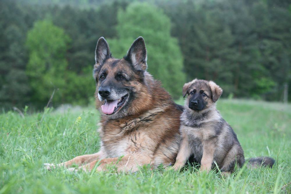 Описание немецкой овчарки и все о породе