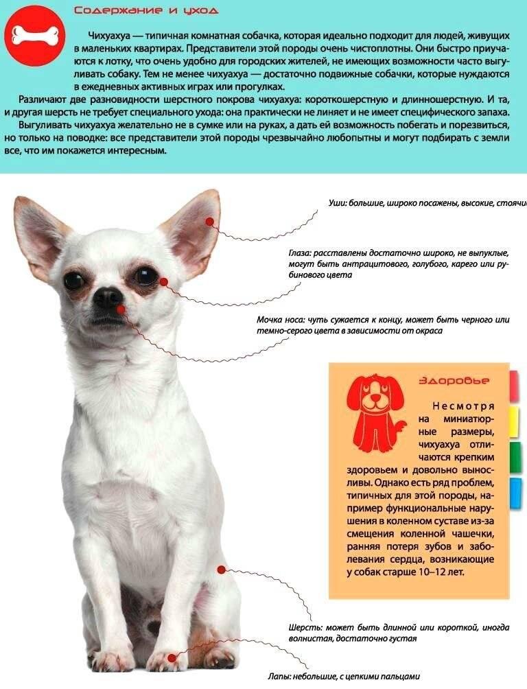 Дрессировка чихуахуа: базовый курс обучения собаки