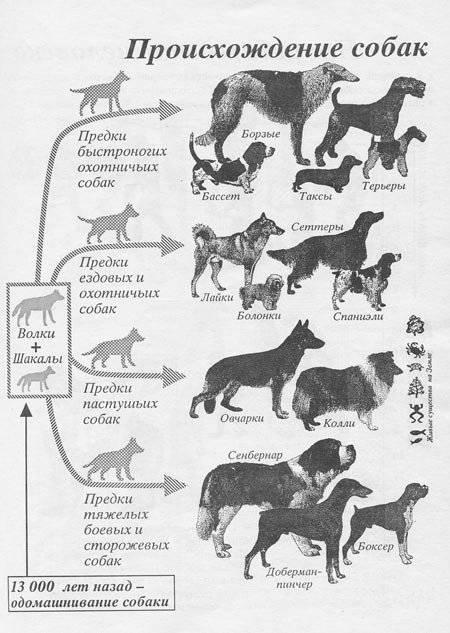 Самые крупные породы собак в мире: обзор и основные характеристики