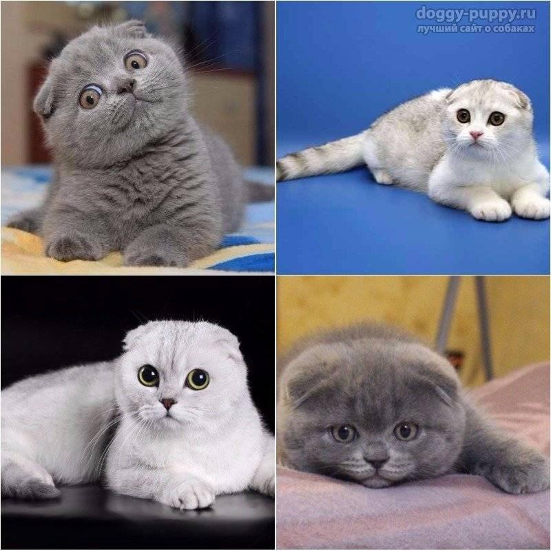 Шотландская кошка: описание породы