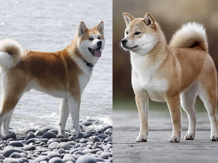 Какая у акиту-ину продолжительность жизни и как ее продлить? рекомендации по уходу за собакой
