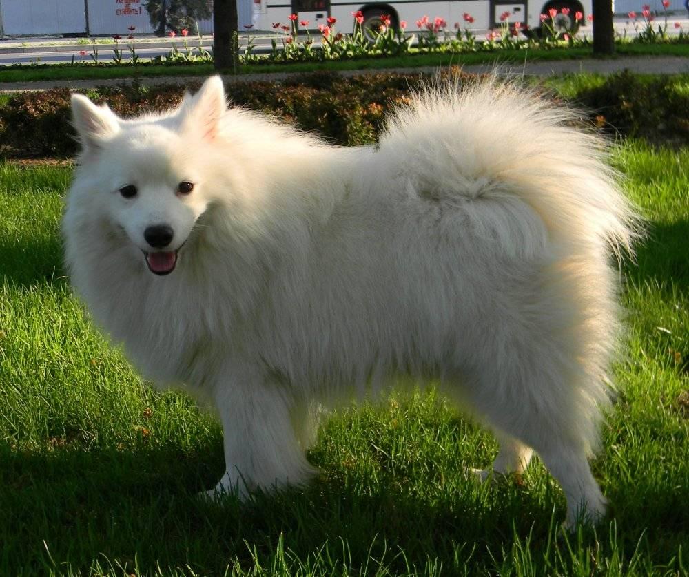 Померанский мини шпиц: описание породы и фото собак