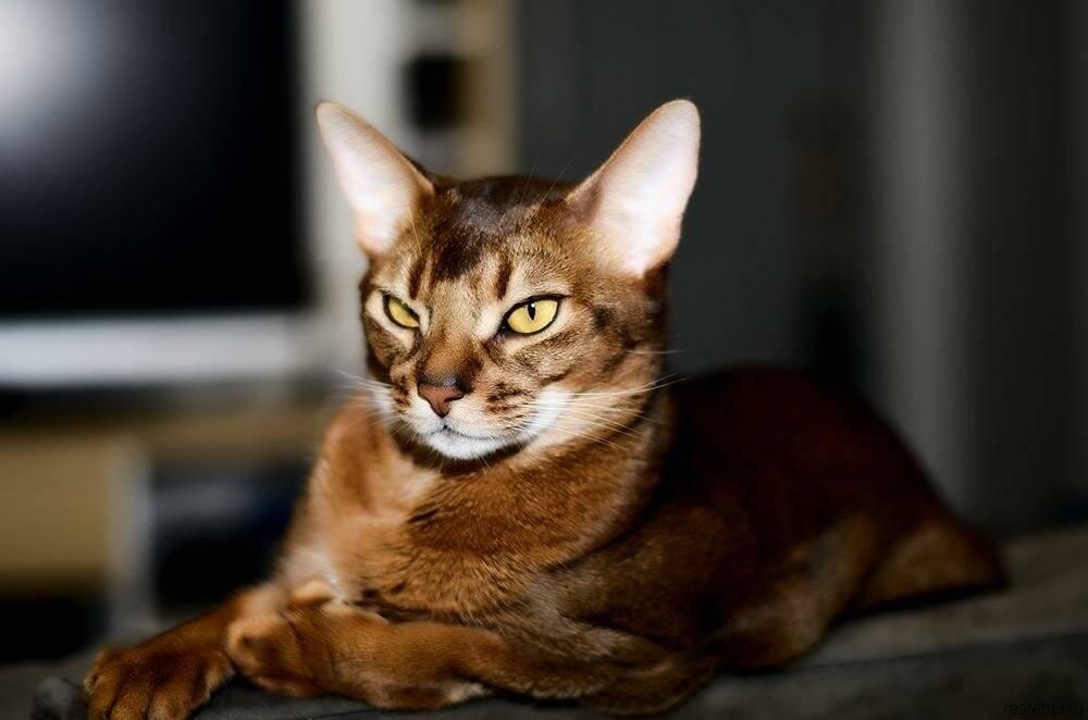 Злые кошки: топ самых агрессивных пород в мире
