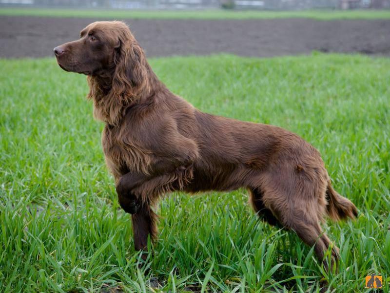 Высокоинтеллектуальные охотничьи собаки: немецкие лангхаары