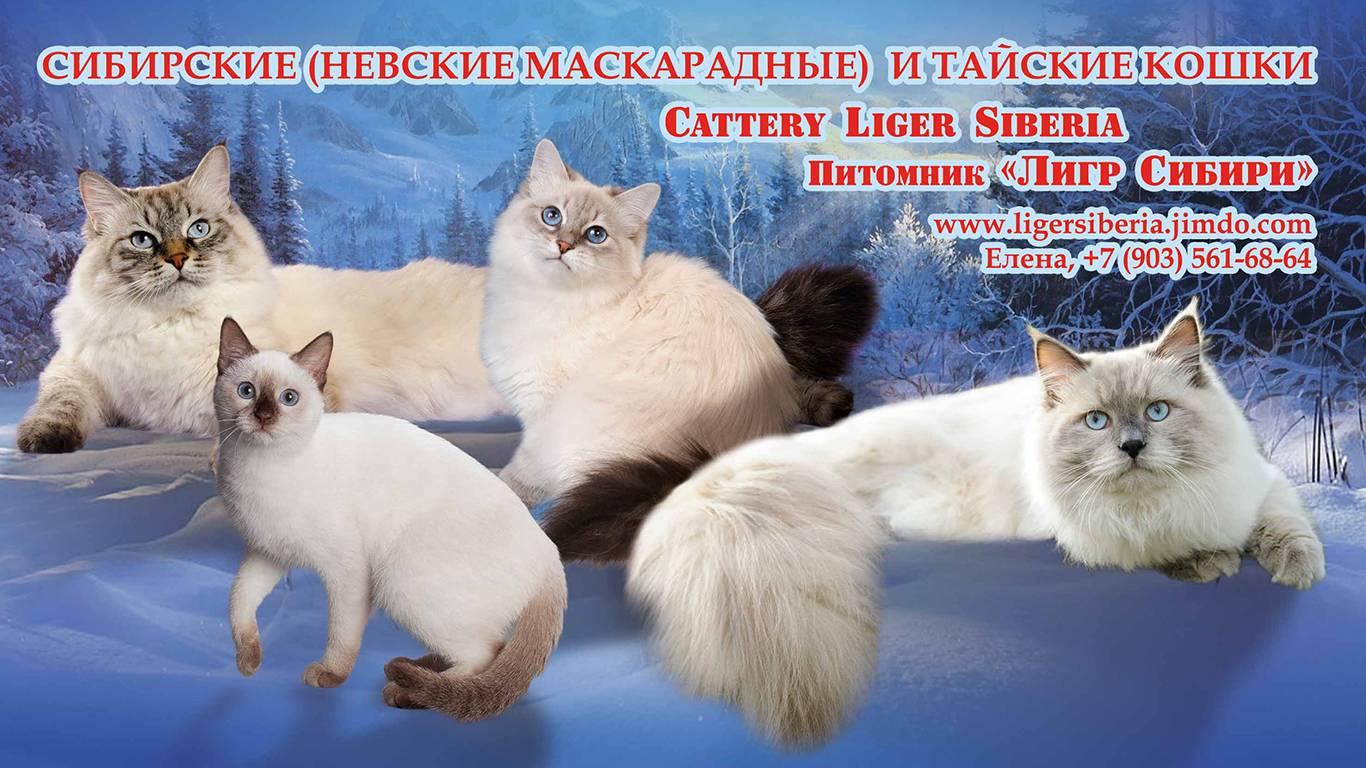 Невская маскарадная кошка: описание, характер, достоинства и недостатки породы, фото и отзывы