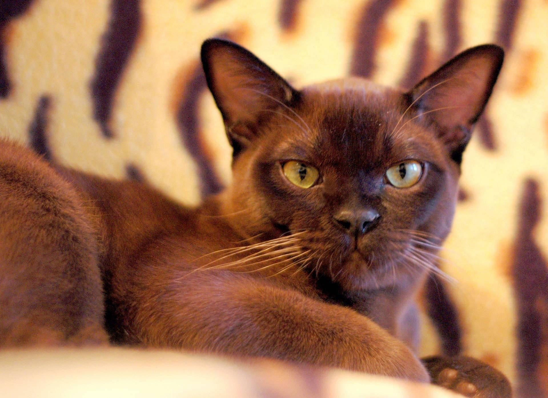 Бурманская кошка (бурма)