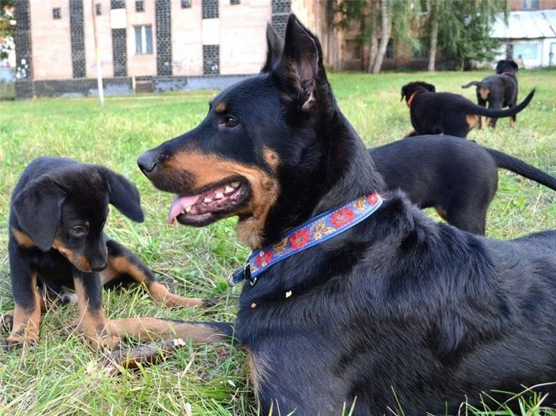 Босерон собака. описание, особенности, уход и цена босерона   sobakagav.ru