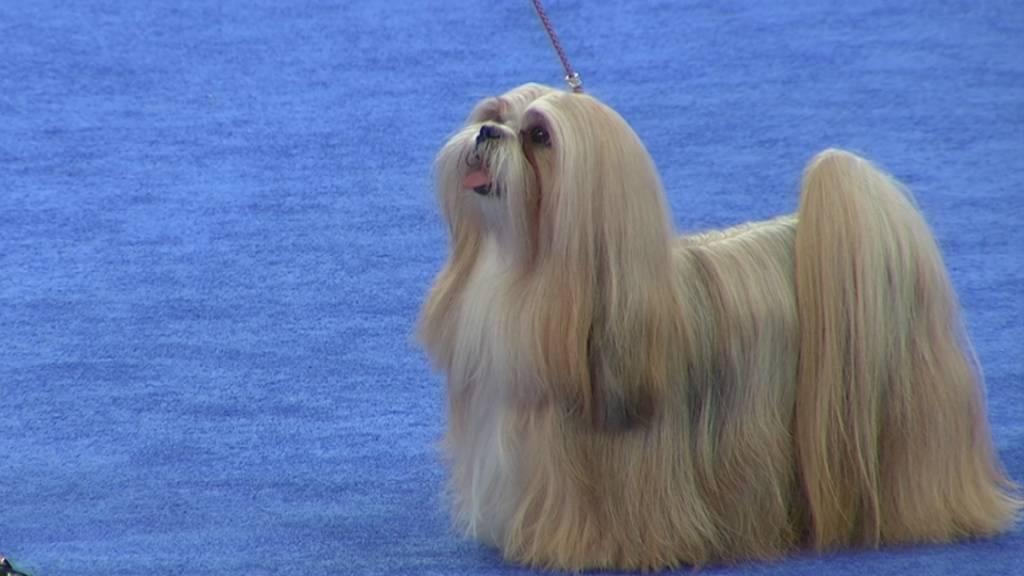 Лхаса апсо: фото, описание породы лхасо апсо, цена щенков