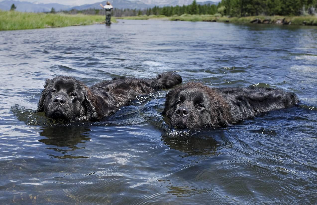 Ньюфаундленд собака. описание, особенности, уход и цена ньюфаундленда