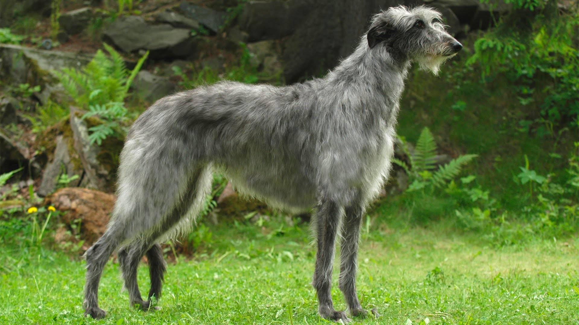 Дирхаунд (шотландская оленья борзая, дирхунд): фото, купить, видео, цена, содержание дома