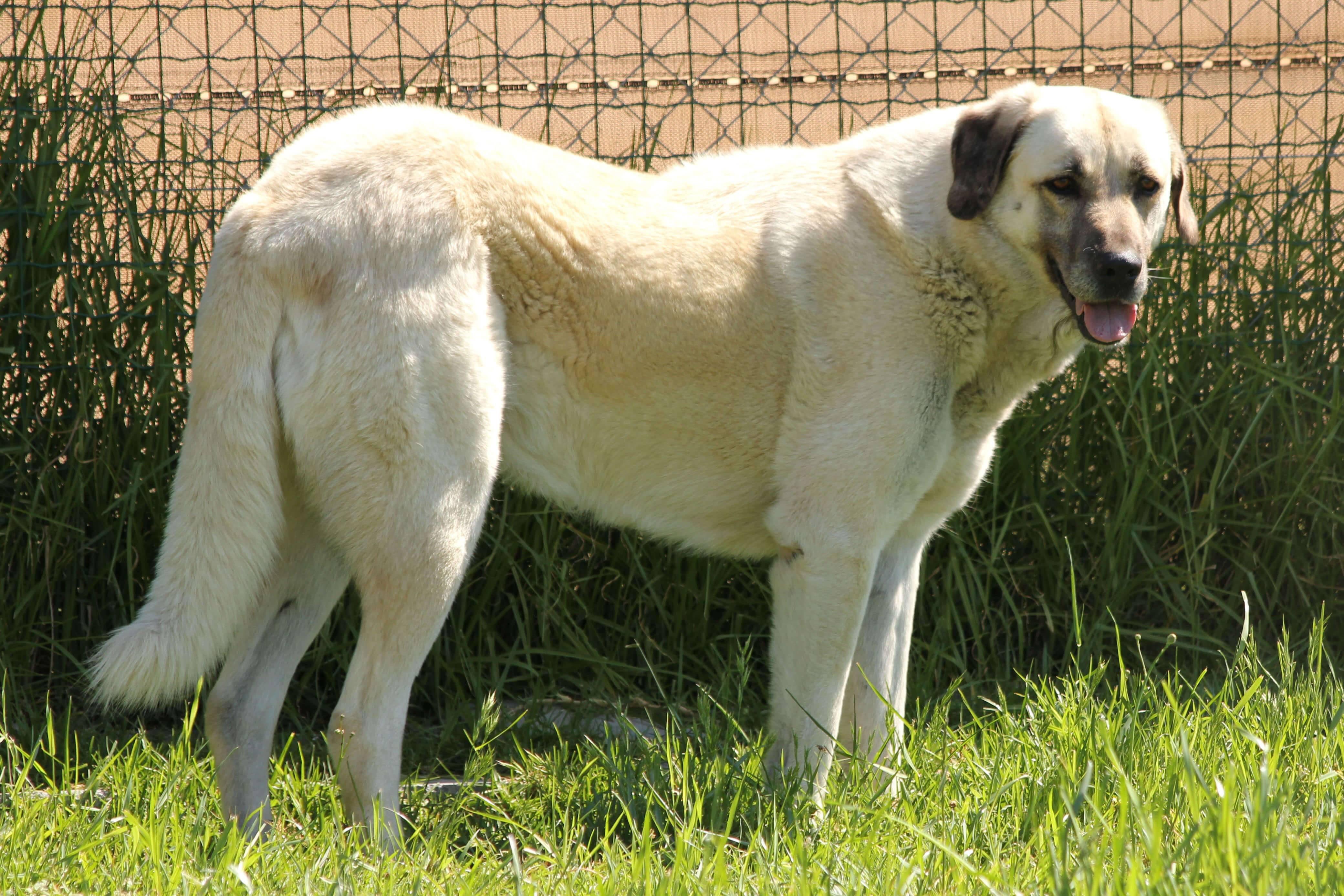 Кангал (карабаш, анатолийская собака)