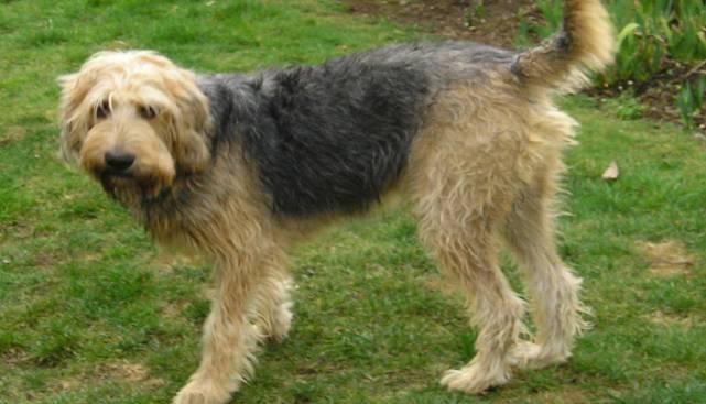 Норные породы собак: описание пород, особенности воспитания, фото