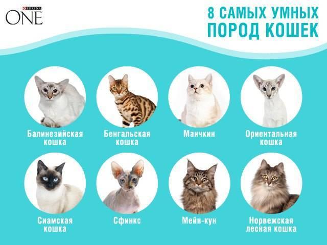 ТОП-9 самых популярных пород кошек в России