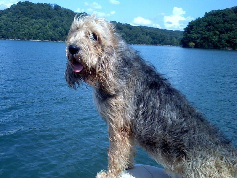 Порода собак оттерхаунд - описание, характер, характеристика, фото оттерхаундов и видео о выдровых гончих