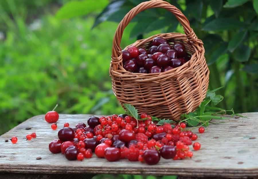 Здоровье прямо с ветки: целебные свойства вишни, черешни, сливы и абрикоса | ogorodnik | ogorodnik.com