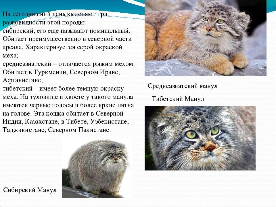 Тигровая кошка (онцилла): описание внешности, характер, среда обитания и образ жизни, фото