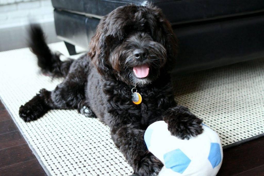 Информация о породе португальская водяная собака и особенностях ее характера
